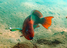 rainbow parrotfish posing.JPG