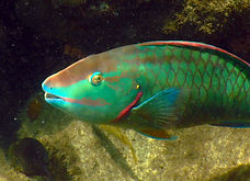 stoplight parrotfish  .JPG