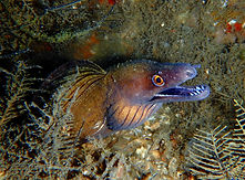 purple mouth moray eel 16.JPG