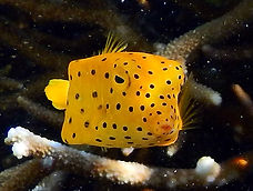 yellow boxfish juvenile 7.JPG