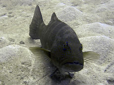 sea bass 5.JPG