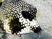 smooth trunkfish profile.JPG