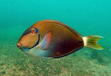 ocean surgeonfish.JPG