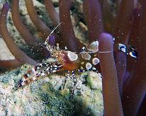 spotted cleaner shrimp 3.JPG