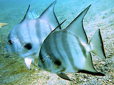 atlantic spadefish .JPG