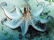 common octopus.webp