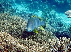 sweetlips above the coral .jpg.JPG