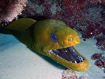 green moray eel.JPG