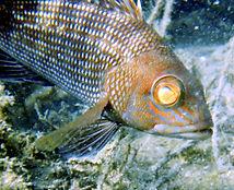 black sea bass (4).JPG