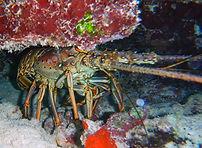 caribbean spiny lobster.JPG