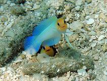 yellowhead jawfish 3.JPG