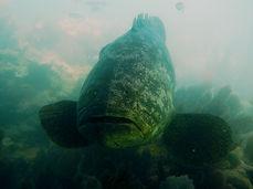 goliath grouper  .JPG