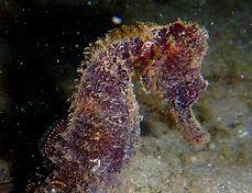 lined seahorse 12.JPG