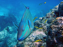 stoplight parrotfish  with juvenile blue