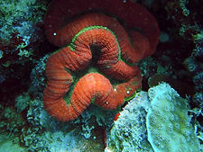 stony corals of the great barrier reef (