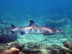 white tip reef shark  six feet long.JPG
