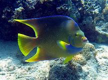 blue angelfish.JPG