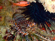 spotted spiny lobster.JPG