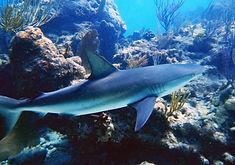 reef shark .JPG