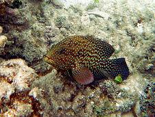 bluespotted grouper 6.JPG