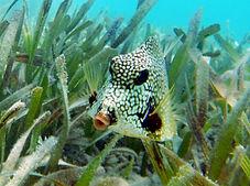 honeycomb boxfish 4.JPG
