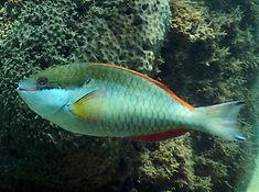 redband parrotfish terminal phase.JPG