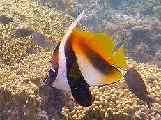masked bannerfish.JPG