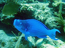 blue parrotfish 3.JPG