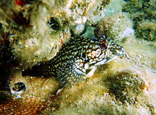 hairy blenny.JPG