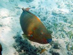 rainbow parrotfish 4.JPG