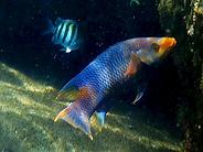 mostly purple spanish hogfish.webp