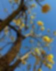 Ipê amarelo aurea Handroanthus aureus