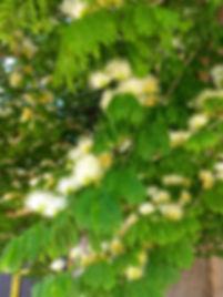 Tataré Chloroleucon tortum flor