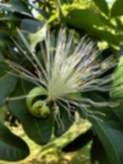 Castanha do Maranhão Bombacopsys glabra flor