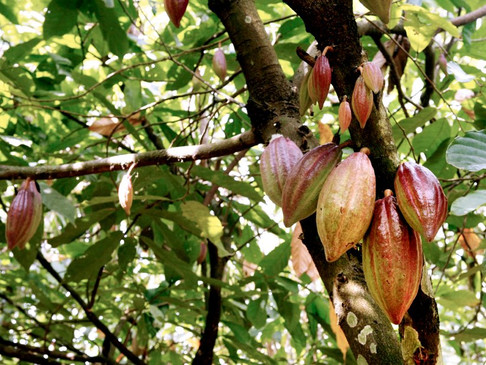 Cocoa Trees in West Africa Are Being Ravaged By A Disease With No Known Cure