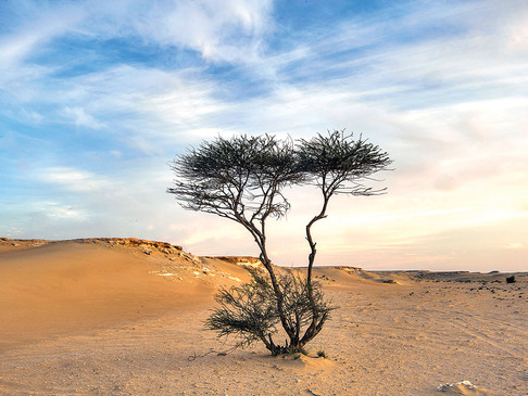 The Tree That Survives the Desert