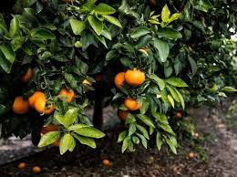 """""""The consumption of Orri mandarins should not be slowed down by high prices"""""""