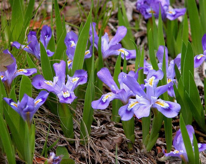 Dwarf Lake Iris