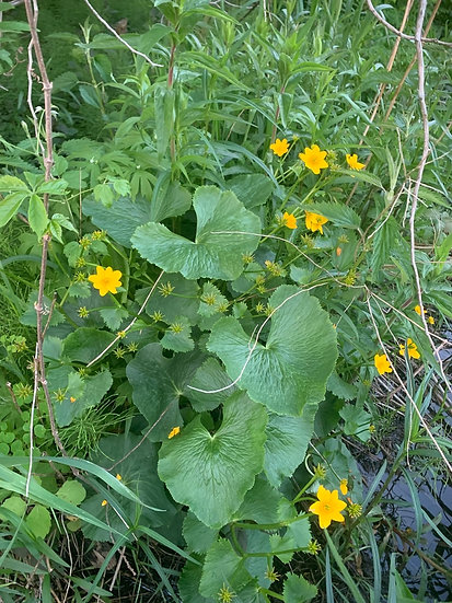 Shady Rain Garden Garden Combo native plants