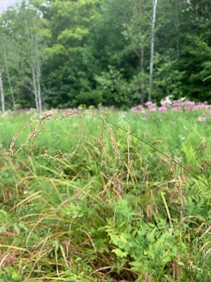 Fowl Mannagrass native plant species