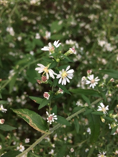 Hairy Calico Aster
