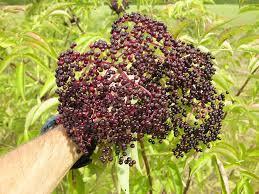 Canada Elderberry