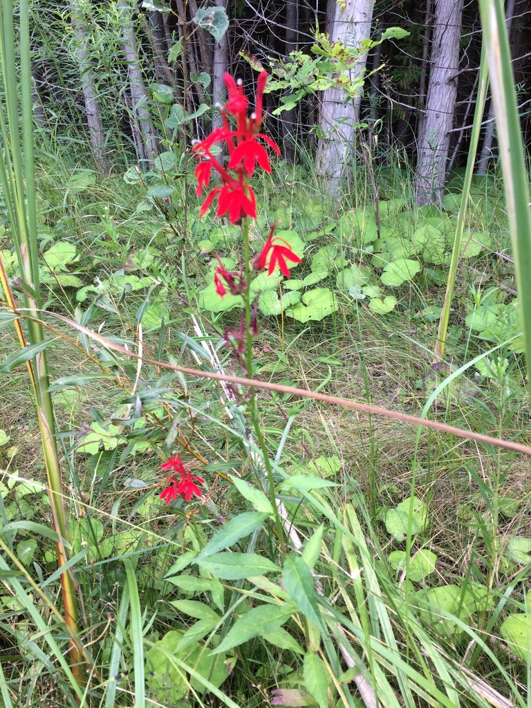 The Cardinal flower is a native plant that supports biodiversity and pollinators in Ontario.