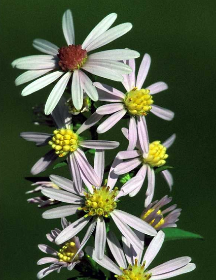 Lowrie's Aster