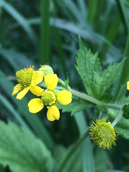 Large-leaved Avens native plant with yellow flowers