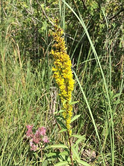 Marsh Goldenrod