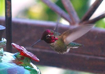 Anna's Hummingbird - Copy.JPG