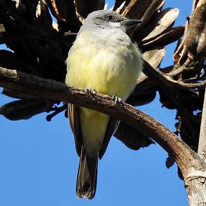 Cassin's Kingbird.jpg