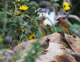 cedar%20waxwings%20at%20wf_edited.jpg