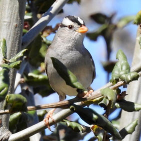 White-crowned Sparrow.jpg
